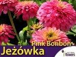 Jeżówka 'Pink Bon Bon' (Echinacea) Sadzonka