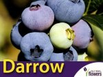 Borówka Amerykańska Sadzonka 4 letnia- odmiana Darrow