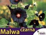 Malwa Czarna (Althaea rosea var. nigra)