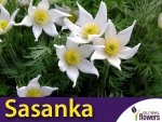 Sasanka zwyczajna Biała Alba (Pulsatilla vulgaris) CEBULKA