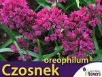 Czosnek Ostrowskiego (Allium oreophilum) CEBULKI