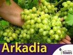 Winorośl Arkadia Sadzonka - odmiana deserowo-przerobowa Vitis 'Arkadia'