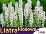 Liatra kłosowa, biała (Liatris spicata) Sadzonka