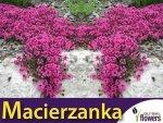 Macierzanka piaskowa (Thymus serpyllum) lilaróżowa 0,1g