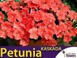 Petunia ogrodowa Kaskada łososiowa (Petunia x hybrida pendula) 0,02 LUX