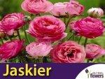 Jaskier azjatycki różowy (Ranunculus asiaticus) CEBULKA