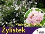 Żylistek 'Pink Pom-Pom' (Deutzia ×hybrida) Sadzonka