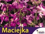 Maciejka dwuroga pachnąca (Mathiola bicornis)