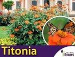 Titonia cynobrowa (Tithonia rotundifolia) 1g