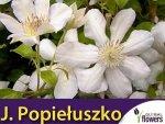 Clematis Powojnik ''Jerzy Popiełuszko' Sadzonka