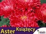Aster chiński książęcy - czerwony (Callistephus chinensis) 1g