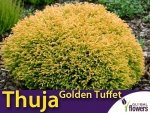 Żywotnik zachodni 'Golden Tuffet' (Thuja occidentalis) Sadzonka