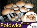 Polówka wiązkowa ( Agrocybe Aegerita) Kostka do uprawy domowej 3 kg