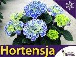 Hortensja ogrodowa BAVARIA Wielokolorowa (Hydrangea macrophylla) Sadzonka