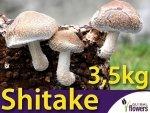 Shitake kostka 3 kg – twardziak jadalny. Grzyb długowieczności !