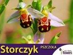 Storczyk Pszczoła (Bee Orchid) nasiona