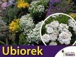 Ubiorek wiecznie zielony biały (Iberis sempervirens) 0,5g