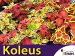 Koleus Blumego Rokoko, mieszanka (Coleus blumei) 0,02g