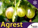 Agrest zielony 'Hinnonmaki Green' (Ribes uva-crispa) Sadzonka