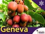 Aktinidia ostrolistna Sadzonka Kiwi Geneva  - odmiana żeńska