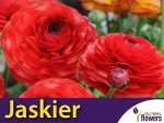 Jaskier azjatycki czerwony (Ranunculus asiaticus) CEBULKI 7 szt.