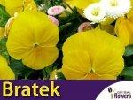 Bratek Szwajcarski Wielkokwiatowy Luna (Viola x Wittrockiana) 0,4g Nasiona
