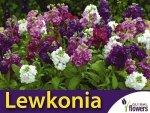 Lewkonia letnia, mieszanka (Matthiola incana) 0,5g