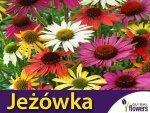 Jeżówka Mieszanka Gatunków ( Echinacea )