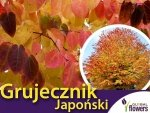Grujecznik japoński (Gercidyphyllum japonicum) Sadzonka C2