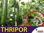 THRIPOR-L 500 dziubałeczek wielożerny (do zwalczania wciornastków) 100ml