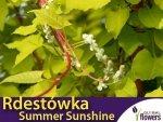 Rdestówka Bucharska SUMMER SUNSHINE 'Acofal' (Fallopia baldschuanica)SADZONKA