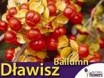 Dławisz amerykański 'Bailumn' (Celastrus scandens) Sadzonka