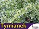 Tymianek cytrynowy srebrny 'Silver Queen' (Thymus citriodorus) SADZONKA