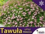 Tawuła Japońska 'Little Princess' (Spiraea japonica) Sadzonka