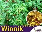 Winnik Tojadowaty 'Seattle' (Ampelopsis aconitifolia) Sadzonka