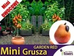DRZEWKO MINI OWOCOWE Mini Grusza 'Garden Red' (Pyrus) Sadzonka