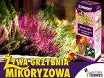 Mikoryza Grzybnia do roślin wrzosowatych 250ml