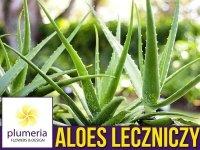 Aloes leczniczy (Aloe vera) Roślina domowa. Sadzonka P12 - M