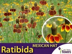 Ratibida MEXICAN HAT (Ratibida columnifera) czerwono-żółta 0,5g