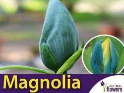 Magnolia BLUE OPAL (Magnolia acuminata) Sadzonka C5