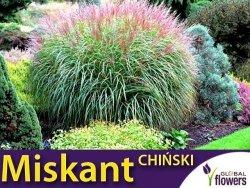 Miskant Chiński Trawa Gigant (Miscanthus sinensis) nasiona 0,05g