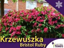 Krzewuszka 'Bristol Ruby' (Weigela florida) Sadzonka C2
