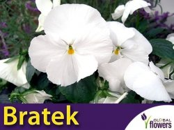 Bratek Szwajcarski Wielkokwiatowy 'Firnenschnee Mont Blanc' (Viola x Wittrockiana) 0,5g Nasiona