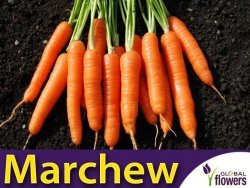 Marchew Nantes 3- Nantejska Średnio Wczesna (Daucus carota) L 50g