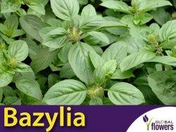 Bazylia 'Magic White' (Ocimum basilicum) Sadzonka