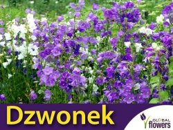 Dzwonek brzoskwiniolistny, mieszanka (Campanula persicifolia) nasiona 0,3g
