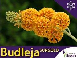 Budleja SUNGOLD (Buddleja wayeriana) Sadzonka C1