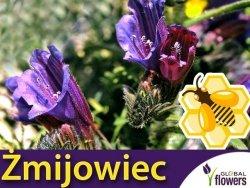 Roślina Miododajna ŻMIJOWIEC GRECKI (Echium creticum) nasiona XXL 100g