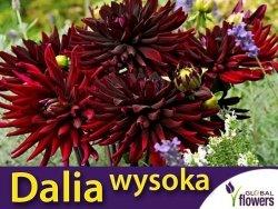 Dalia kaktusowa wysoka Czarny Kot (Dahlia x cultourum) kłącza 1 szt.