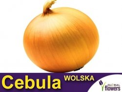 Cebula późna - Wolska (Allium cepa) 5g